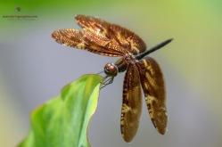 Bronze Flutterer - Rhyothemis obsolescens