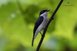 Male Black-winged Flycatcher-Thrush