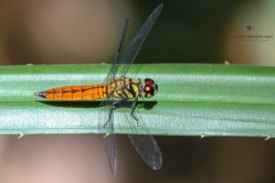 Scarlet Marsh Hawk - Aethriamanta brevipenni (Female)