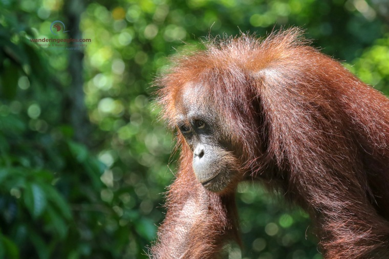 Adult Female Orangutan
