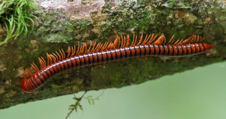 Red Millipede (Trachelomegalus modestior)