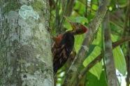Male Orange-backed Woodpecker