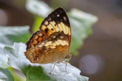 The Rustic - Cupha erymanthis