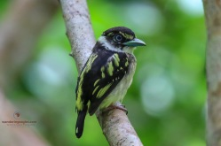 Juvenile Black and Yellow Broadbill