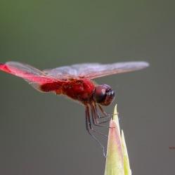 Crimson Glider - Urothemis Signata