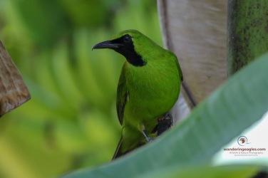 Male Lesser Green Leaf Bird