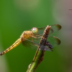 Unknown female Dragonfly