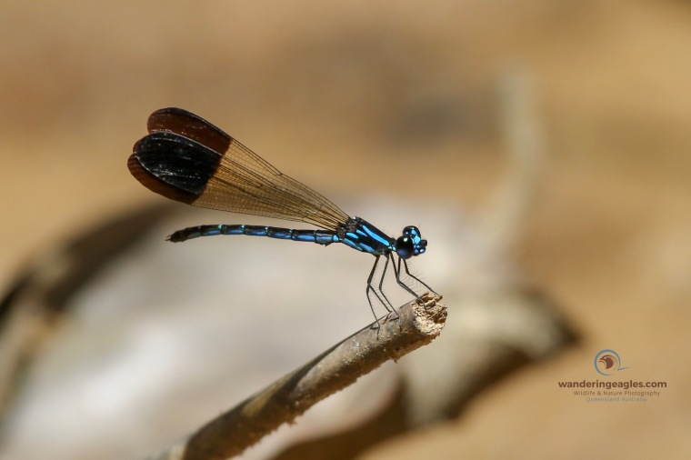Jewel Damselfly - Rhinocypha humeralis