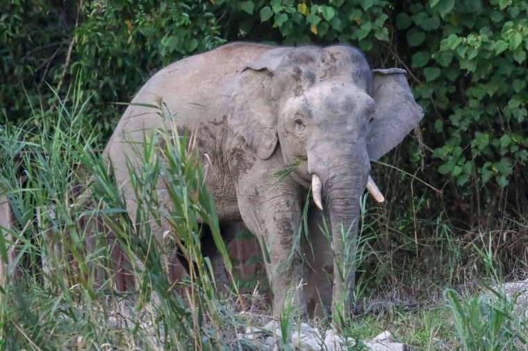 Asian Elephant on banks of kinabatangan River