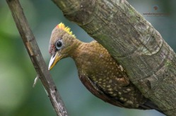 Female Crimson-winged Woodpecker