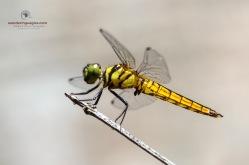 Scarlet Marsh Hawk Dragonfly - Aethriamanta brevipenni (Teneral Male)