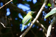 Green Leaf-Bird