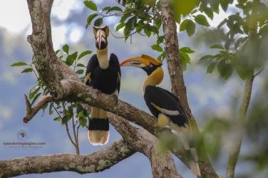 A pair of Great Hornbills