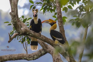 A pair of Great Hornbills