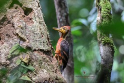 Orange-backed Woodpecker