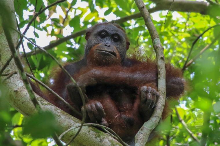 Bornean Orangutan - Wild and Free