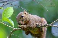 Pygmy Possum