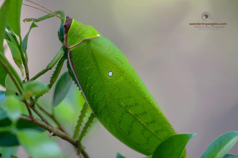 Giant False Leaf Katydid - Pseudophyllus titan