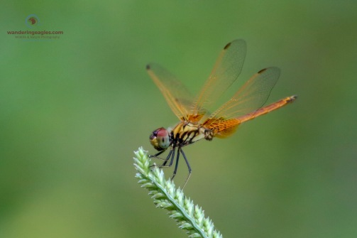 Crimson Dropwing Dragonfly ( Teneral male)