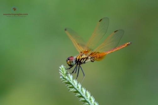 Crimson Dropwing Dragonfly ( Teneral male)