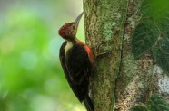 Male Orange-backed Woodpecker