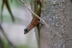 Unknown Skink