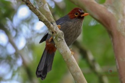 Chestnut-capped laughing Thrush