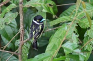A very gorgeous Black and Yellow Broadbill