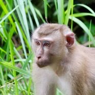 Female Pig-tailed Macaque