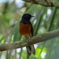 White-rumped Shama (male)