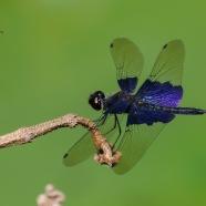 Sapphire Flutterer Dragonfly
