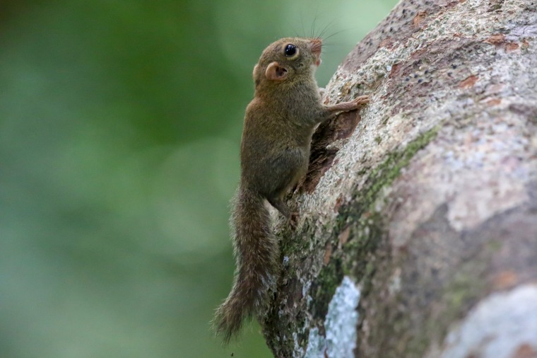 Pygmy Squirrel