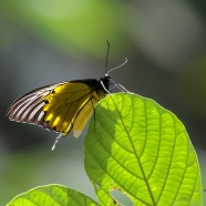 Birdwing Butterfly-Troides amphyrus