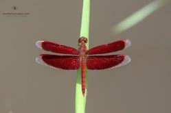 Red Grass-hawk Dragonfly - Neurothemis fulvia