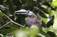 Bushy Crested Hornbill