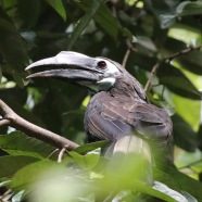 Bushy Crested Hornbill