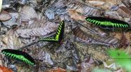 Rajah Birdwing Butterflies