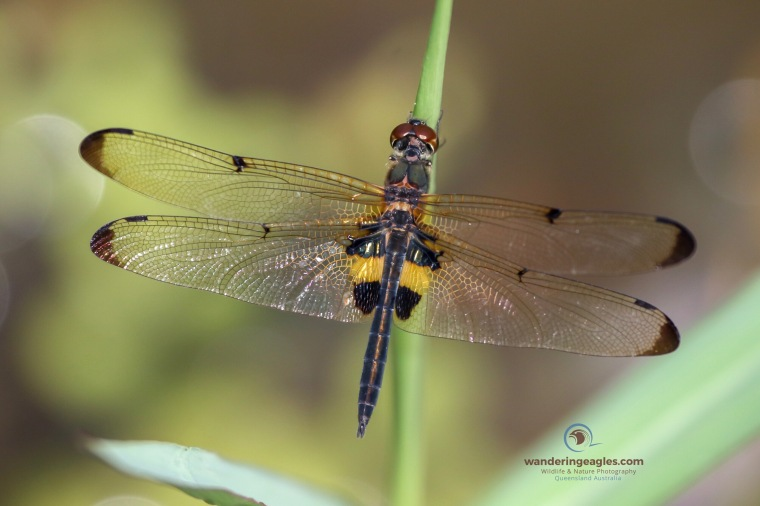 Yellow Striped Flutterer. Rhyothemis phyllis