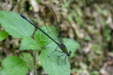 Flashwing Damselfly - Vestalis amethystina (female)