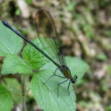Flashwing Damselfly - Vestalis amethystina (female)