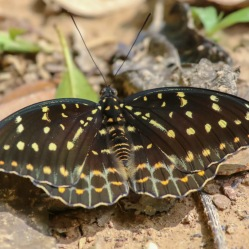 Yellow Archduke Butterfly - Lexias canescens pardalina