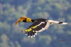 Female Great Hornbill