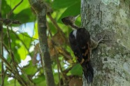 Female Orange-backed Woodpecker