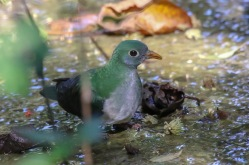 Jambu Fruitdove - Ptilinopus jambu (Female)