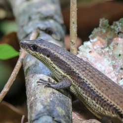 another unknown skink