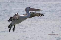 Pelican - Urunga
