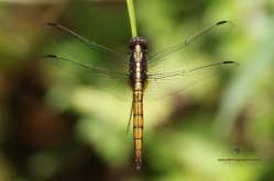 Common Blue Skimmer - Teneral Male