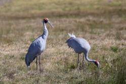 A pair of Brolga's