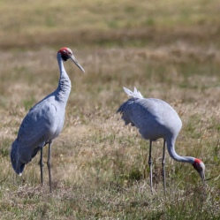 A pair of Brolga's