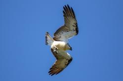 An Osprey Dive